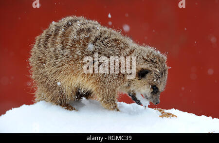 Bolton, Lancashire, UK. 30th January, 2019. Snowy conditions for some of the recent arrivals at Smithills Open Farm in Bolton, Lancashire. New additions to the farm including Meerkats, a Donkey, a Llama and an Alpaca got their first taste of snow as they took their first steps into the winter weather. One of the young Meerkats steps out into the snow for some food. Picture by Paul Heyes, Wednesday January 30, 2019. Credit: Paul Heyes/Alamy Live News - Stock Photo