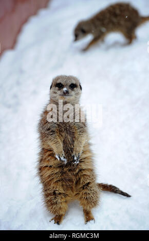 Bolton, Lancashire, UK. 30th January, 2019. Snowy conditions for some of the recent arrivals at Smithills Open Farm in Bolton, Lancashire. New additions to the farm including Meerkats, a Donkey, a Llama and an Alpaca got their first taste of snow as they took their first steps into the winter weather. Some of the  Meerkats step out into the snow for some food. Picture by Paul Heyes, Wednesday January 30, 2019. Credit: Paul Heyes/Alamy Live News - Stock Photo