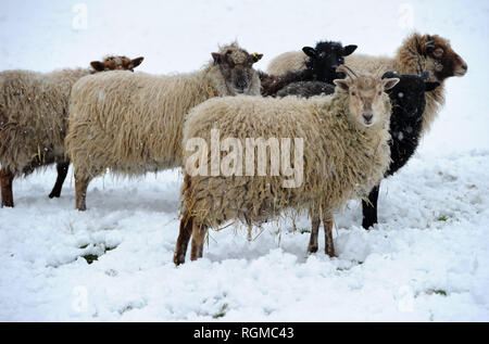 Bolton, Lancashire, UK. 30th January, 2019. Snowy conditions for some of the recent arrivals at Smithills Open Farm in Bolton, Lancashire. New additions to the farm including Meerkats, a Donkey, a Llama and an Alpaca got their first taste of snow as they took their first steps into the winter weather. A flocks of the farms sheep check what's going on. Picture by Paul Heyes, Wednesday January 30, 2019. Credit: Paul Heyes/Alamy Live News - Stock Photo