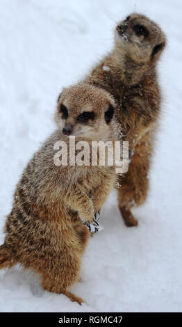 Bolton, Lancashire, UK. 30th January, 2019. Snowy conditions for some of the recent arrivals at Smithills Open Farm in Bolton, Lancashire. New additions to the farm including Meerkats, a Donkey, a Llama and an Alpaca got their first taste of snow as they took their first steps into the winter weather. Some of the Meerkats including a baby step out into the snow for some food. Picture by Paul Heyes, Wednesday January 30, 2019. Credit: Paul Heyes/Alamy Live News - Stock Photo