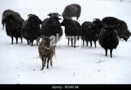 Bolton, Lancashire, UK. 30th January, 2019. Snowy conditions for some of the recent arrivals at Smithills Open Farm in Bolton, Lancashire. New additions to the farm including Meerkats, a Donkey, a Llama and an Alpaca got their first taste of snow as they took their first steps into the winter weather. These black sheep definitely stand out in the snow. Picture by Paul Heyes, Wednesday January 30, 2019. Credit: Paul Heyes/Alamy Live News - Stock Photo