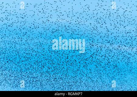 UK, Scotland, Dumfrieshire, flock of Common Starling (Sturnus vulgaris) - Stock Photo