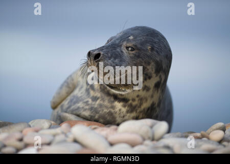Scotland, Grey seal, Halichoerus grypus - Stock Photo