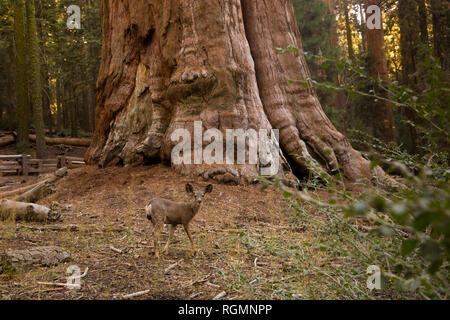 USA, California, Death Valley, General Sherman Tree, giant sequoia, Sequoiadendron giganteum - Stock Photo