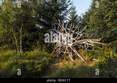 big old root at the hiking trail Lotharpfad in Northern Black Forest, Germany, conservation area of Bannwald, forest zone without intervention - Stock Photo