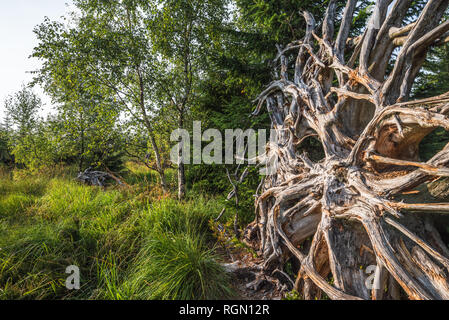 hiking trail Lotharpfad in Northern Black Forest, Germany, root of windthrow and birches, forest protection area without intervention - Stock Photo