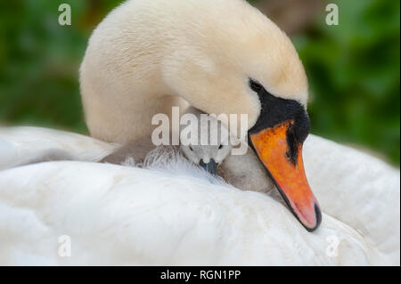 Close-up image of a adult Mute Swan - Cygnus Olor and newly hatched Cygnet on her back. - Stock Photo