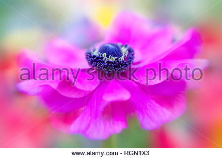 Close-up image of a vibrant pink Anemone coronaria De Caen flower, the poppy anemone, Spanish marigold, or windflower - Stock Photo