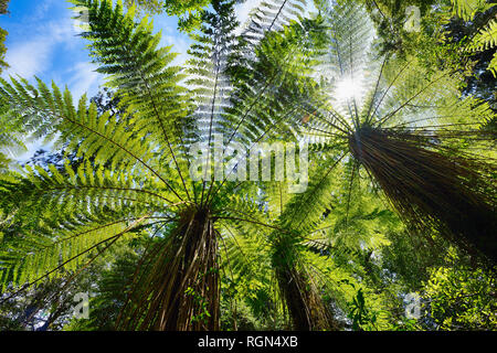 Tree ferns in temperate rainforest, West Coast, South Island New Zealand, New Zealand - Stock Photo