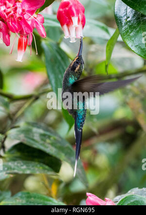 A Green Hermit (Phaethornis guy) hummingbird feeding on pink flowers. Costa Rica, Central America. - Stock Photo
