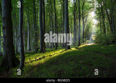 Germany, Mecklenburg-Western Pomerania, Ruegen, Jasmund National Park, Beech forest - Stock Photo