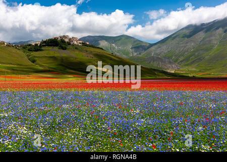 Italy, Umbria, Sibillini National Park, Blooming flowers on Piano Grande di Castelluccio di Norcia - Stock Photo
