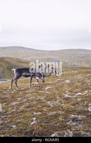 Two reindeers grazing at the North Cape, Norway - Stock Photo