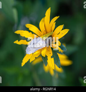Colorful outdoor macro image of a cabbage white butterfly on a blooming yellow sullivant's coneflower,sunny bright summer,natural  blurred background - Stock Photo