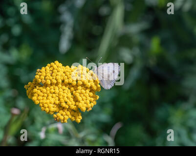 Outdoor spring / summer color image of a single pieris rapae, cabbage white butterfly sitting on a yellow yarrow blossom with blurred natural backgrou - Stock Photo