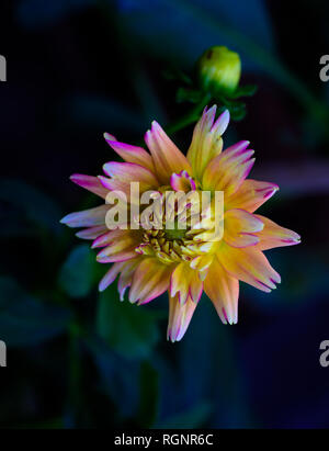 Detailed floral still life fine art macro portrait of a single isolated orange pink dahlia on black background with fine texture - optimistic, summer - Stock Photo