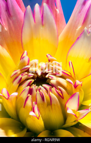 Floral fine art still life bright vivid colorful fantasy macro portrait of a single isolated flowering dahlia blossom,yellow,pink,red,blue background - Stock Photo