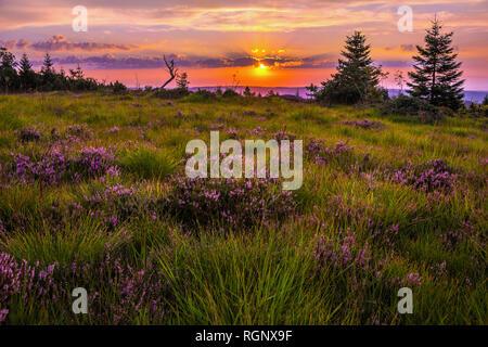 heather landscape at sunrise with blooming erica, Northern Black Forest, Germany, landform grinde, ridge of mountain Schliffkopf with Calluna vulgaris - Stock Photo