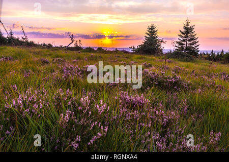 pristine landscape, blooming erica at sunrise, Northern Black Forest, Germany, nature reserve of heather with Calluna vulgaris and different grasses - Stock Photo