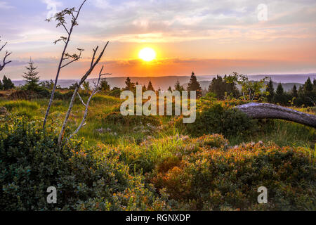 landscape of Northern Black Forest at sunrise, mountain Schliffkopf, Germany, wilderness of the grinde heather with bilberry bushes and grasses - Stock Photo