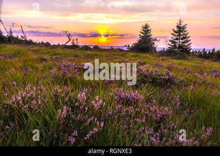 pristine landscape with blooming flowers at sunrise, Northern Black Forest, Germany, nature reserve of heather with erica and different grasses - Stock Photo
