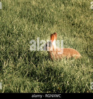 Baby Bunny Rabbit sits in the lush green field - Stock Photo
