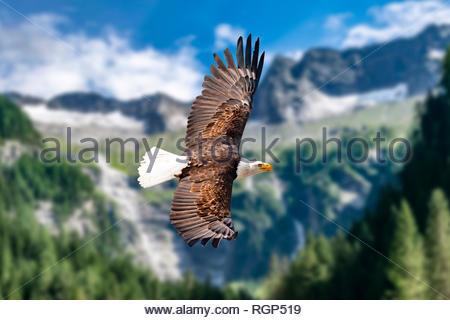 Ein Weißkopfseeadler fliegt in großer Höhe am Himmel und sucht Beute. Es sind Wolken am Himmel aber es herrscht klare Sicht bei strahlender Sonne. - Stock Photo