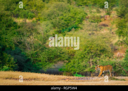 A male tiger cub on an evening light strolling in her mother territory with a beautiful and scenery green background at Ranthambore Tiger Reserve - Stock Photo
