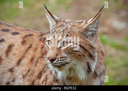 Detailed close-up of adult eursian lynx in autumn forest with blurred background - Stock Photo