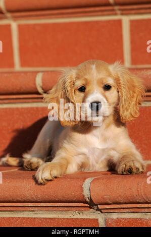 Spaniel-Mongrel, puppy 7 weeks, lies on stairs, Austria - Stock Photo