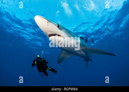 Diver and Blue Shark (Prionace glauca) with Pilot Fish (Naucrates ductor), swimming in blue water, Faial, Azores, Portugal