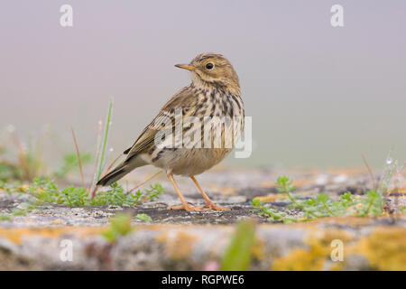 Meadow Pipit (Anthus pratensis), adult standing on the ground - Stock Photo
