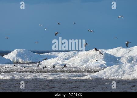 Common gulls (Larus canus) migrating over wind-blown lake ice piled up near the shore in spring, Lake Peipsi, Estonia, April. - Stock Photo