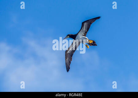 Brown Booby. Sula leucogaster, - Stock Photo