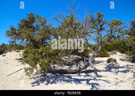 curved branched juniper tree, semi-dry, grows out of sand, near the green bushes - Stock Photo