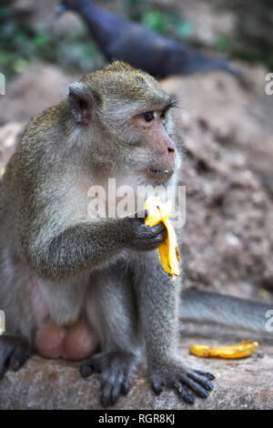 Langschwanzmakak (Macaca fascicularis), Phang Nga, Thailand - Stock Photo