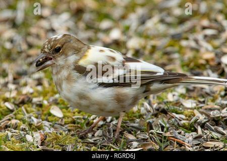 common chaffinch, female, (Fringilla coelebs) - Stock Photo