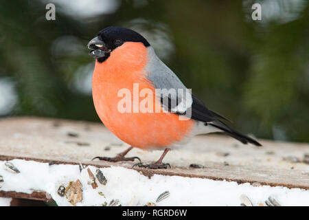 eurasian bullfinch, common bullfinch, male, (Pyrrhula pyrrhula) - Stock Photo