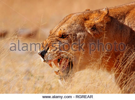 Lion, female, Moremi Game Reserve, Botswana, (panthera leo) - Stock Photo
