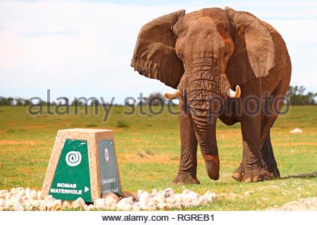 african elephant, male, Etosha National Park, Namibia, (Loxodonta africana) - Stock Photo