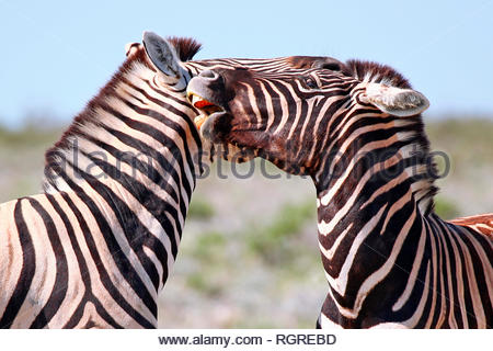 Plains Zebras, Etosha National Park, Namibia, (Equus quagga) - Stock Photo
