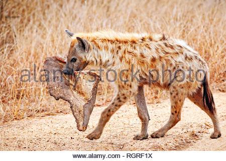 hyena with a piece of a carcass, Kruger NP, south africa, (Crocuta crocuta) - Stock Photo