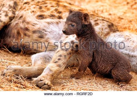 hyena, young, Kruger NP, south africa, (Crocuta crocuta) - Stock Photo