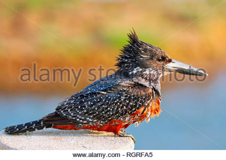 giant kingfisher, Kruger National Park, South Africa, (Megaceryle maxima) - Stock Photo
