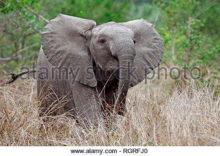 african elephant, Kruger NP, south africa, (Loxodonta africana) - Stock Photo