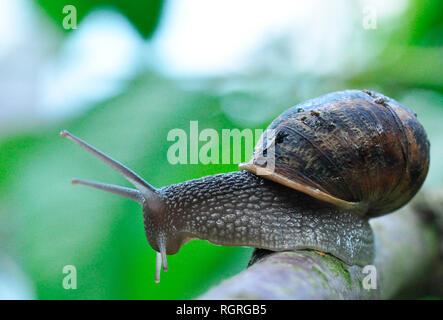 Edible Snail, North Rhine-Westphalia, Germany, Europe, Helix pomatia - Stock Photo