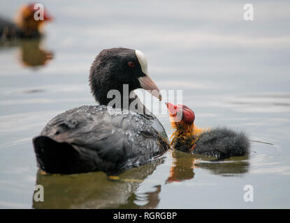 Coot with chick, Abtskuecher pond, Heiligenhaus, Germany, Europe, Fulica atra - Stock Photo