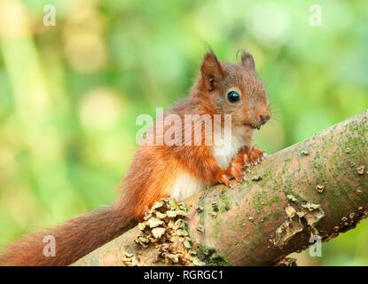 Red Squirrel, young, North Rhine-Westphalia, Germany, Europe, Sciurus vulgaris - Stock Photo