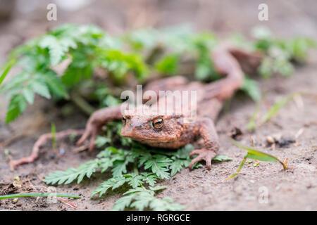 Common Toad, North Rhine-Westphalia, Germany, Europe, Bufo bufo - Stock Photo