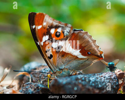 Purple Emperor Butterfly, Florstadt, Hesse, Germany, Europe, Apatura iris - Stock Photo